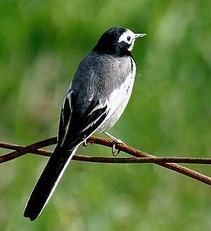 White wagtail - Male (Non-breeding- personata race) at Hodal- I IMG 8818.jpg