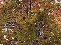 Wien-Penzing - Naturdenkmal 576 - Blätter der Blutbuche (Fagus sylvatica Atropunicea).jpg
