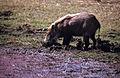 Wild Boar (Sus scrofa cristatus) (20132274208).jpg
