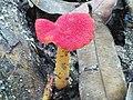 Wild Red Mushroom.jpg