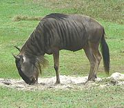Wildebeest cropped.jpg