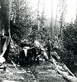 William John Smith with Bull Logging Team near Detroit c. 1900 (8113430220).jpg