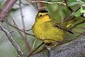 Wilsons-warbler-2a.jpg