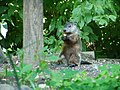 Woodchuck P8070005.jpg