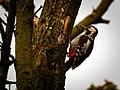 Woodpecker (19106146840).jpg