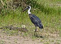 Woolly-necked Stork (Ciconia episcopus) (14033030255).jpg