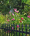Wrought Iron and Roses 4-27-15b (17125237950).jpg