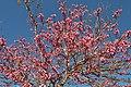 Xàbia, arbre de l'amor a un jardí de l'avinguda d'Augusta.jpg