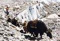 Yak on way to Everest-BC.jpg