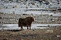 Yaks wanders the plains of the Khunjrab area near China - Pakistan border.jpg