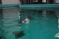 Yangtze finless porpoise, 27 July 2011e.jpg