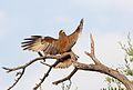 Yellow-billed kite, Milvus aegyptius, at Elephant Sands Lodge, Botswana (32099513652).jpg