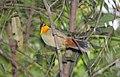 Yellow-throated Tanager (Iridosornis analis) (9496855811).jpg