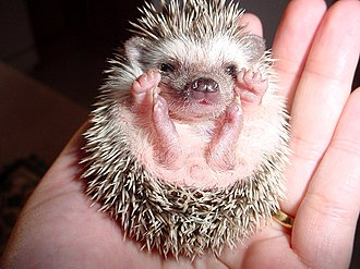Desert hedgehog - Image: Yezhik
