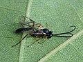 Yponomeuta evonymella - Bird-cherry ermine (parasitoid) - Горностаевая моль черёмуховая (паразитоид) (41177458630).jpg