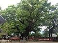 Yubuta no Mori Camphor Tree in Umi Hachiman Shrine 2.JPG