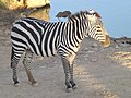 Zebra Biblical Zoo 07.jpg
