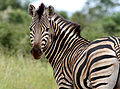 Zebra at Kruger National Park (6942616949).jpg