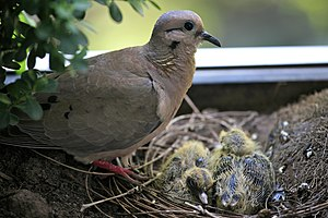Eared dove - Adult and chicks in Uruguay