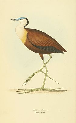 Afrikabladhøne, Actophilornis africanus Illustrasjon av William Swainson, 1829, Public domain