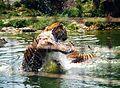 Zwei sibirische Tiger spielen im Wasser.jpg