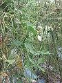 """+arya+"" kacang panjang (Vigna unguiculata sesquipedalis) ꦏꦕꦁ ꦭꦚ꧀ꦗꦫꦤ꧀ 2020 3.jpg"