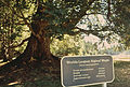 """WORLD'S LARGEST BIGLEAF MAPLE"" IN ENGLISH CAMP - NARA - 545275.jpg"