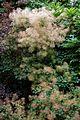 'Cotinus coggygria' smoke tree in Arboretum of Goodnestone Park Kent England 4.jpg