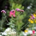 'Verbena bonariensis' Clavering Essex England 2.jpg