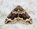 (1750) Water Carpet (Lampropteryx suffumata) (13617198233).jpg