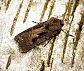 (2089) Heart & Dart (Agrotis exclamationis) (27369277851).jpg