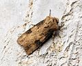 (2092) Shuttle-shaped Dart (Agrotis puta) - Flickr - Bennyboymothman (2).jpg