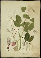 (Clitoria amazonum, Mart)