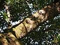 ¿ Litsea species ? (15212491779).jpg