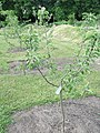 Æbletræ på Frilandsmuseet.JPG