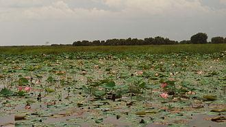 Đồng Tháp Mười - Lotus in Đồng Tháp Mười
