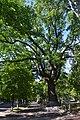 Дуб в Сумах на Петропавлівській.jpg