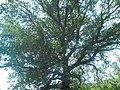 Дуб черешчатий, село Промінь.jpg