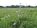Луговые цветы - panoramio (1).jpg