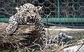 Переднеазиатский леопард.jpg