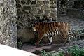 Тигр бенгальський.JPG
