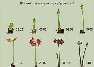 """Цвітіння гіпеаструма сорту """"grand cru"""".jpg"""