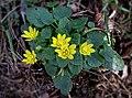 Чистяк весенний - Ranunculus ficaria (Ficaria verna) - Lesser celandine - Жълтурче - Scharbockskraut (33485870215).jpg
