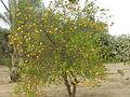 شجرة اليوسفي بمدينة السادات.JPG