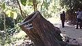 আফ্রিকান টিকওকের গুঁড়ি, লাউয়াছড়া জাতীয় উদ্যান.jpg