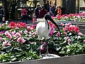 ''Rubbish chicken'' or Australian white ibis in Brisbane CBD.jpg
