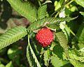 バライチゴ Rubus illecebrosus.JPG
