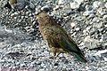 冰川的鸟 bird - panoramio.jpg