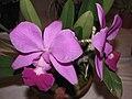 卡特蘭 Cattleya Aloha Case -香港沙田國蘭展 Shatin Orchid Show, Hong Kong- (9200879062).jpg