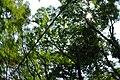 参道の樹 - panoramio.jpg